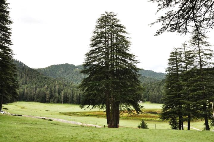 Panch Pandav Tree, Khajjiar