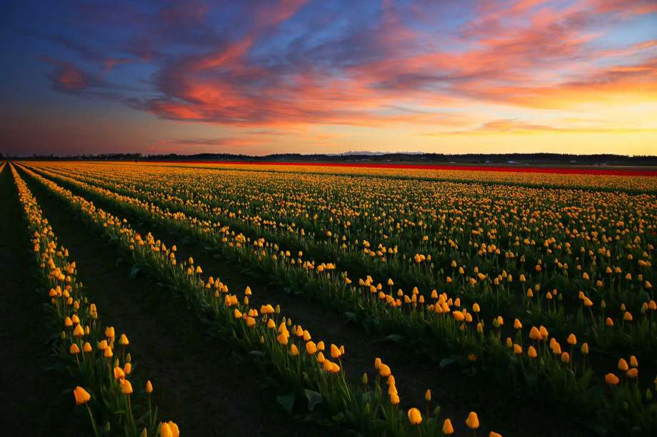 Skagit Valley Tulip Fields and Festival