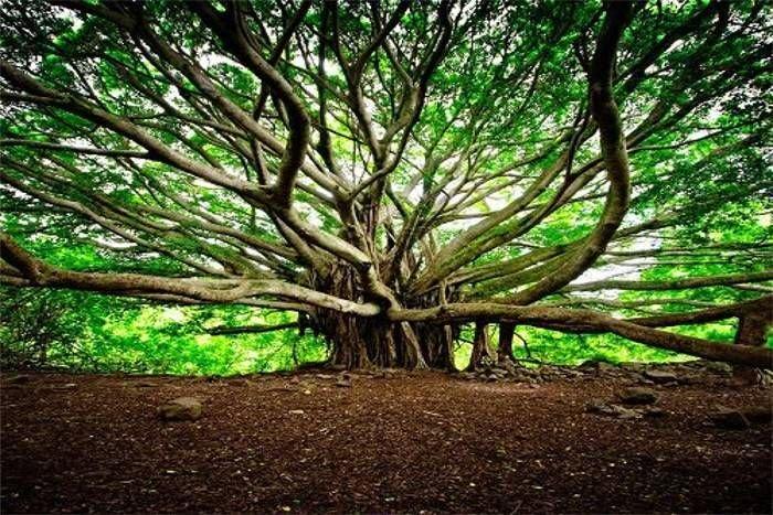 250 Years Old World's Widest Banyan Tree at Botanical Garden, Kolkata