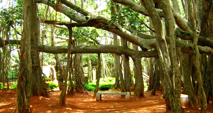 """Facts about the """"Great Banyan Tree"""""""